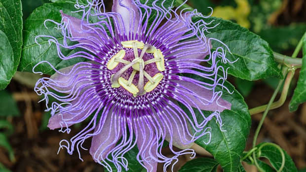 how-to-grow-passion-flower-maypop