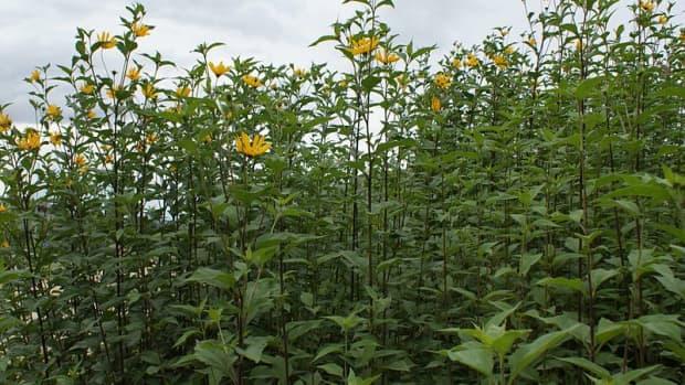 how-to-grow-jersudalem-artichokes-sunchokes