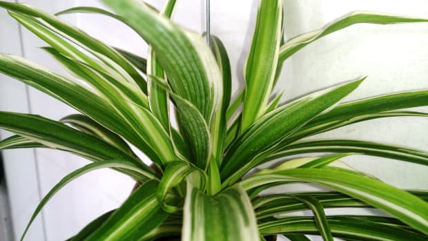 watering-spider-plant