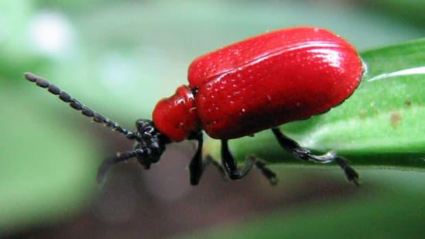 how-to-get-rid-of-lily-leaf-beetles-scarlet-lily-beetle