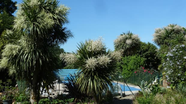 how-to-propagate-cordyline-australis-how-to-get-free-cordyline-plants