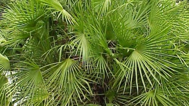how-to-grow-a-european-fan-palm-indoors-or-outdoors