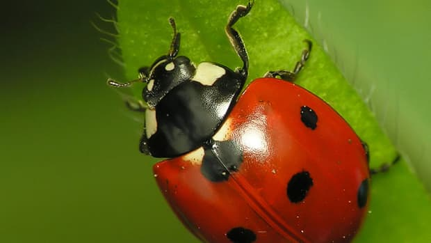 how-to-attract-ladybugs-to-your-garden