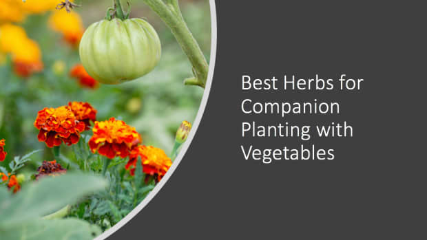 best-herbs-for-companion-planting-with-vegetables