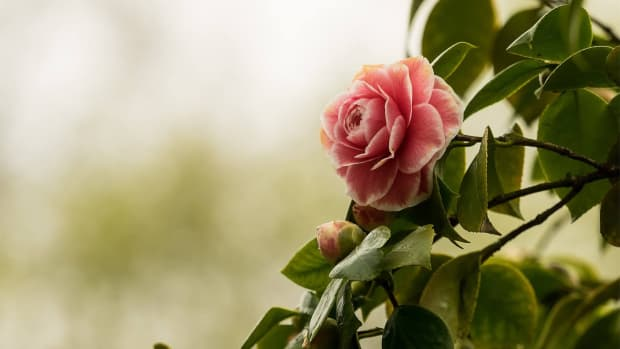 how-to-plant-camellias-in-your-garden