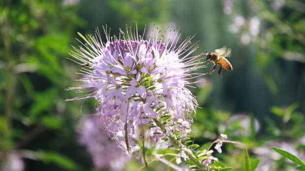 how-to-grow-and-harvest-bee-balm