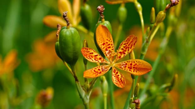 how-to-grow-blackberry-lilies-leopard-lilies