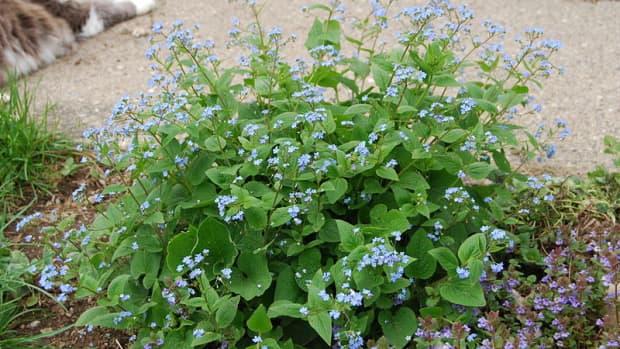 how-to-grow-siberian-bugloss-false-forget-me-not