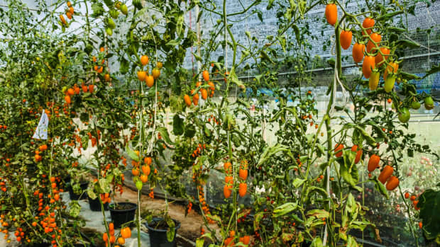 tomato-wilting-droopy-plant