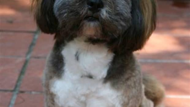 if-my-dog-has-chronic-kidney-failure-will-he-need-a-transplant