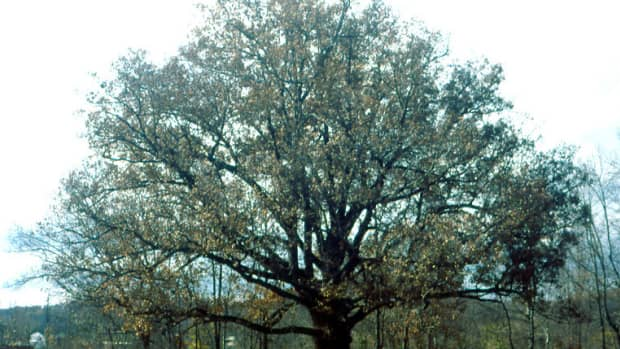interesting-facts-about-the-oak-tree