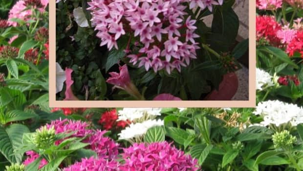 grow-pentas-plant-for-privacy-groundcover-slope-protection-erosion-control