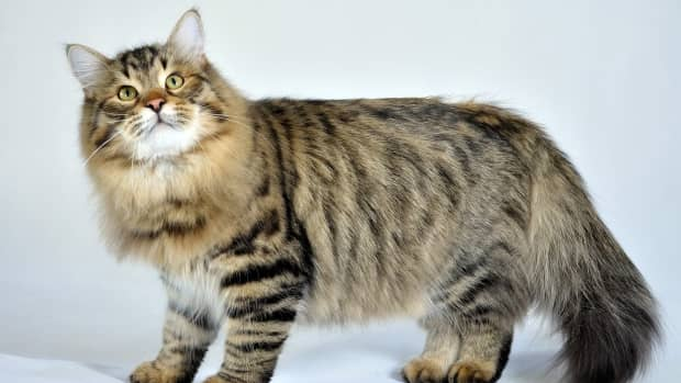 hereditary-diseases-of-the-siberian-forest-cat