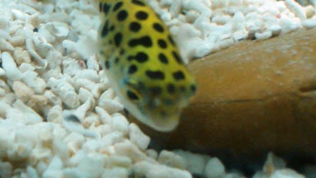 green-spotted-puffer-fish-care-feeding-tank-setup