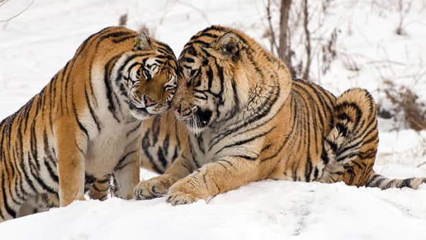 save-the-tigers-2014