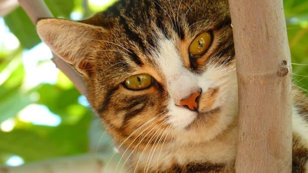 feline-immunodeficiency-virus-fiv-feline-aids