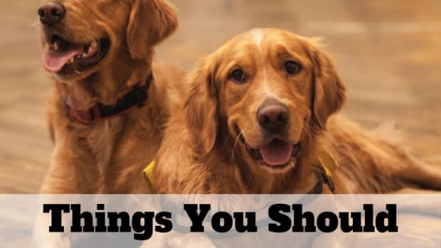 13-things-to-consider-before-buying-a-golden-retriever