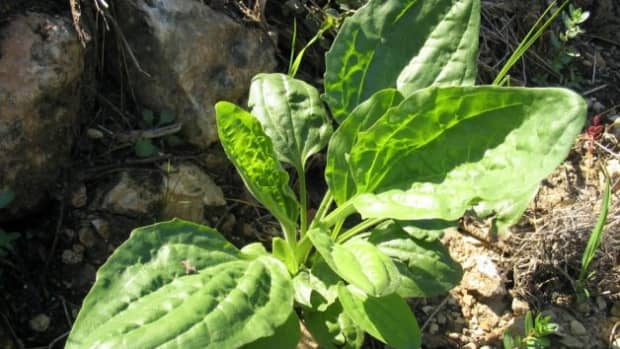 plantain-drawing-salve-backyard-first-aid-ointment