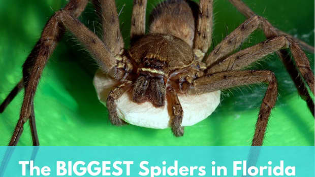 the-biggest-spiders-in-florida