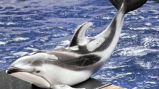 pacific-white-sided-dolphins-wild-rescued-and-captive