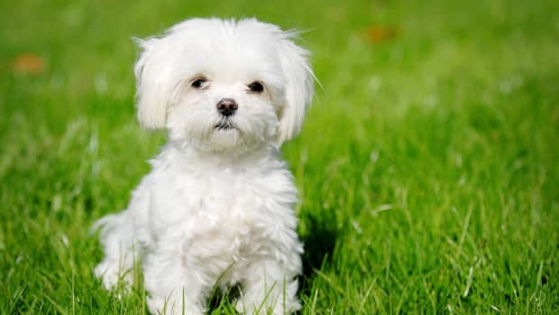 top-10-most-costliest-dog-breeds-in-india-in-2015