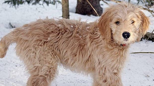 the-truth-about-hybrid-vigor-in-dogs-breeders-dont-want-you-to-know