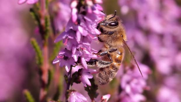 celtic-lore-of-the-honey-bee
