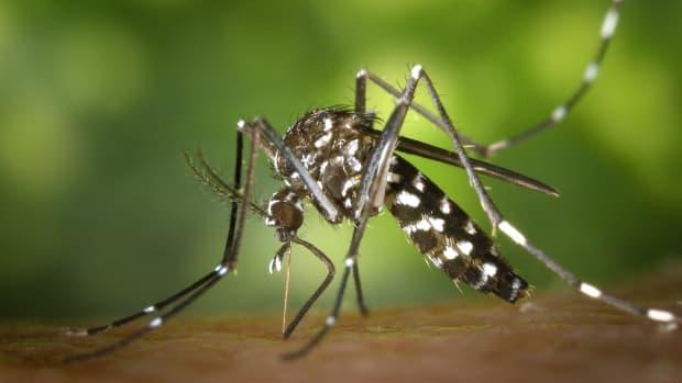 wormwood-and-artemisinin-a-malaria-medicine-from-nature