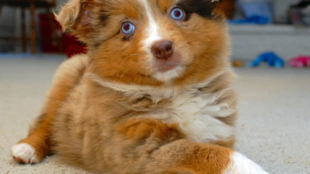 what-is-a-double-merle-dog-the-dangers-of-merle-to-merle-breeding