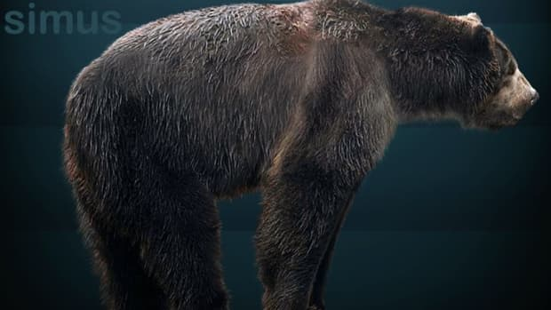 giant-short-faced-bear-sightings-is-arctodus-simus-still-alive