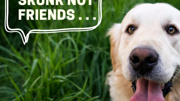does-tomato-juice-get-rid-of-skunk-smell-in-dogs