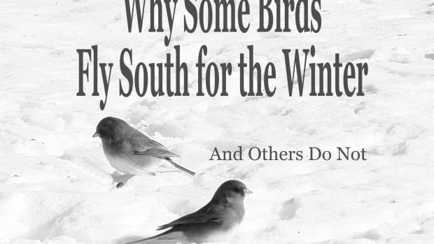 why-some-birds-fly-south-for-the-winter-and-others-do-not