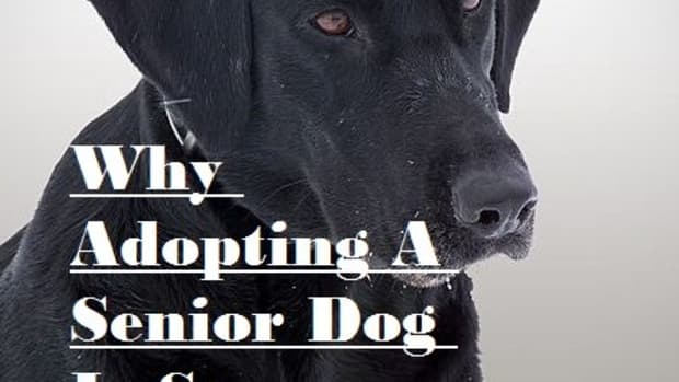 why-i-adopted-a-senior-dog-and-why-you-should-too