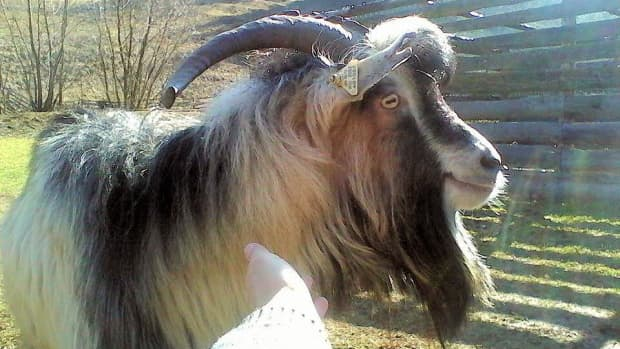 goats-farm-animals-that-make-great-pets