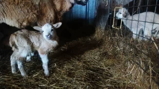 how-to-save-a-lamb-that-is-cold-chilled-or-has-hypothermia