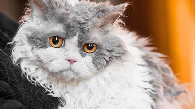 selkirk-rex-cat-breed-features-origin-and-pompous-albert