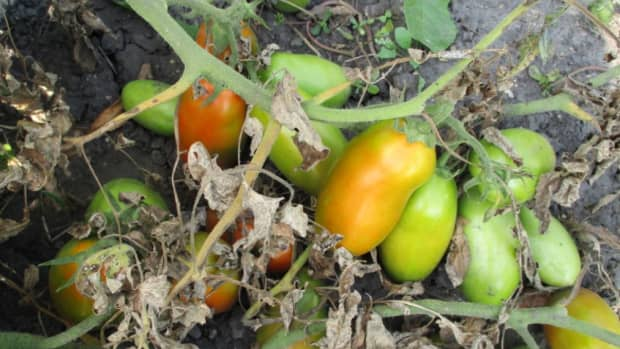 minnesota-cooking-tomatoes-from-vine-to-freezer