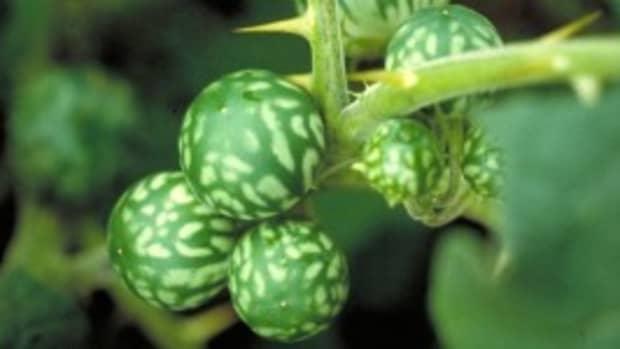 tropsodaapple