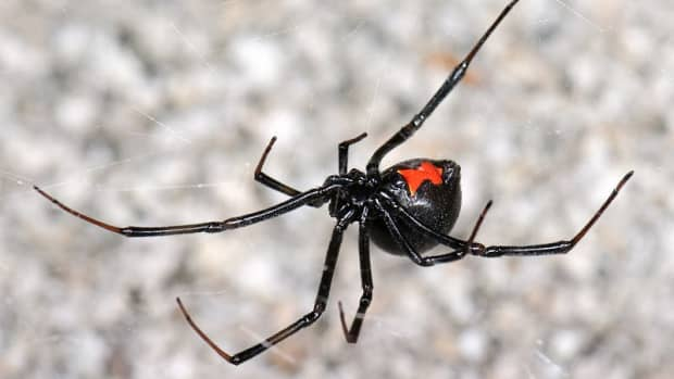 how-to-care-for-a-pet-black-widow-spider