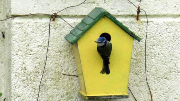 blue-tits-nesting-in-my-garden-in-a-bird-box-birds-nest-chicks-baby-tit-eggs-hatching-fledglings