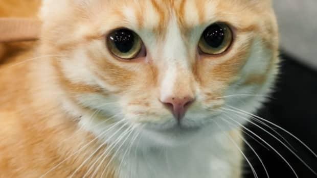 weirdest-cat-breeds