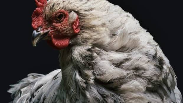 why-top-notch-dog-trainers-have-an-interest-in-training-chickens