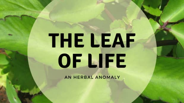 leaf-of-life-what-it-is-how-to-use-it-and-how-to-grow-it
