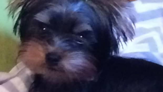 why-do-yorkies-make-great-pets
