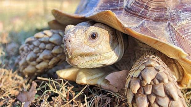 sulcata-tortoise-a-living-dinosaur