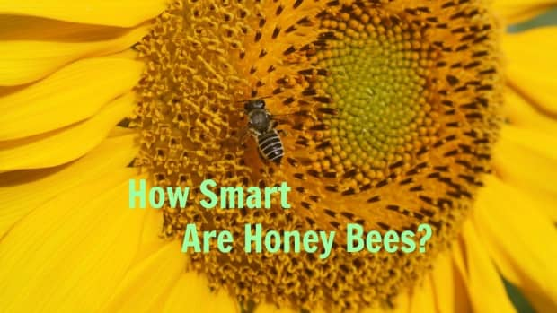 how-smart-are-honey-bees