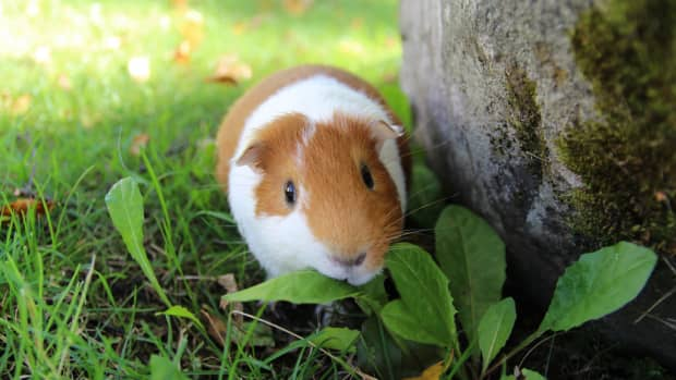 how-to-help-your-guinea-pig-gain-weight