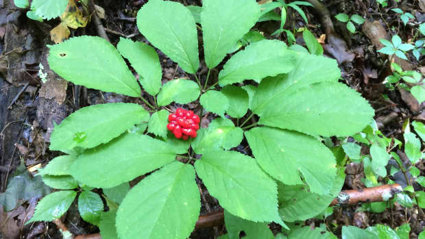 how-to-find-and-sell-american-wild-ginseng