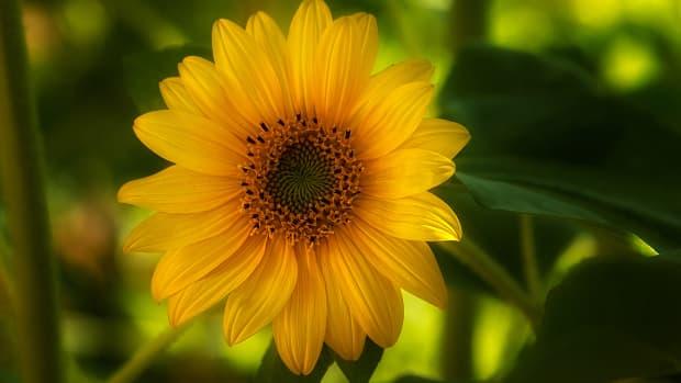 large_sunflowers