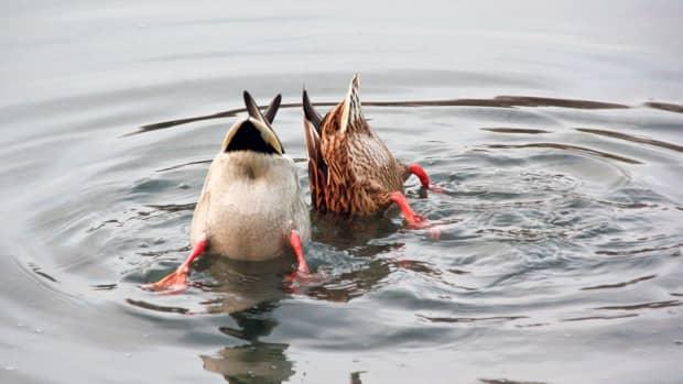 do-ducks-eat-fish